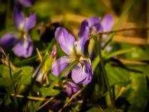 Dziki fiołek w trawie na słonecznym dniu zdjęcie stock