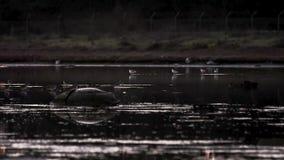Dziki flaming w konserwacja terenie zdjęcie wideo