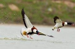 Dziki gęsi latanie (tadorna tadorna) Obrazy Stock