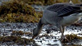 Dziki gęsi spaceru loch Szkocja HD zdjęcie wideo