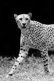 Dziki gepard Fotografia Royalty Free