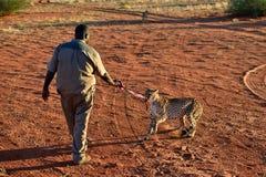 Dziki geparda karmienie Obrazy Stock
