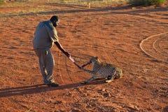 Dziki geparda karmienie Obrazy Royalty Free