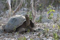 Dziki gigantyczny tortoise na Galapagos wyspie Zdjęcia Stock