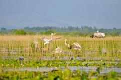 dziki gniazdowy pelikan Zdjęcia Stock