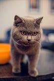 Dziki gniewny kot Obrazy Stock