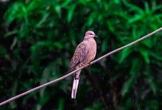 Dziki go??bi ptak w deszczu na drucianych monsun?w ind fotografia royalty free