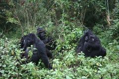 Dziki goryla Rwanda Afryka tropikalny las Zdjęcie Stock