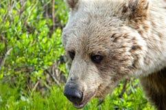 Dziki Grizzly Dziki Zakończenie Zdjęcia Stock