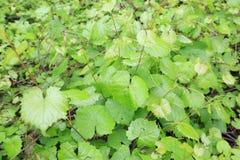 Dziki Gronowego winogradu wczesny poranek zdjęcie stock