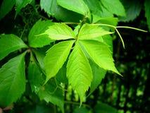 dziki gronowy liść Zdjęcia Royalty Free