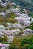 Dziki halny czereśniowy drzewo kwitnie podczas wiosny w Arashiyama terenie Kyoto, Japonia Zdjęcie Stock