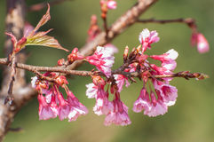 Dziki Himalajski czereśniowy kwitnienie Fotografia Royalty Free
