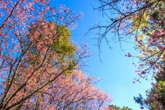 Dziki Himalajski Czereśniowy wiosny okwitnięcie zdjęcia royalty free