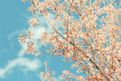 Dziki Himalajski Czereśniowy wiosny okwitnięcie zdjęcie royalty free