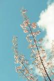 Dziki Himalajski Czereśniowy wiosny okwitnięcie zdjęcie stock