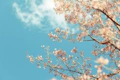 Dziki Himalajski Czereśniowy wiosny okwitnięcie fotografia stock