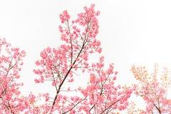 Dziki Himalajski Czereśniowy wiosny okwitnięcie na białym tle zdjęcie royalty free