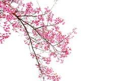 Dziki Himalajski Czereśniowy wiosny okwitnięcie na białym tle zdjęcie stock