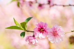Dziki Himalajski Czereśniowy kwiat Zdjęcie Royalty Free