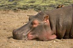 Dziki hipopotam śpi głęboko na brzeg rzeki, afrykańska sawanna, Kruger, Południowa Afryka Zdjęcie Stock