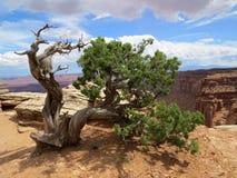 Dziki Jałowcowy drzewny Canyonlands zdjęcie royalty free