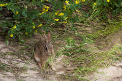 Dziki Jack królik Zdjęcia Royalty Free