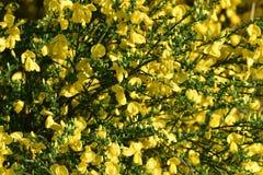 Dziki janowiec kwitnie w lesie obrazy royalty free
