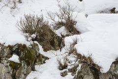 Dziki japończyk Serow Wspina się Snowbank fotografia royalty free