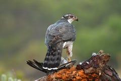 Dziki jastrząb w dzikim fotografia stock