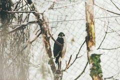 Dziki jastrząb w Finland zoo na drzewie obrazy royalty free