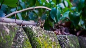 Dziki jaszczurki czekanie nad skały, tropi dla go ` s zdobycza obraz stock