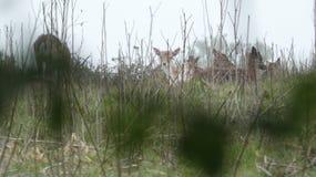 Dziki Jeleni chować w trawie na wiosna dniu fotografia stock