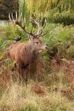 dziki jeleni majestatyczny czerwony jeleń zdjęcia stock