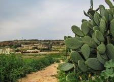 Dziki kaktus w suchym Maltańskim wsi landascpe między Xemxija i Manikata, Malta zdjęcia stock