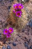 Dziki Kaktusowy okwitnięcie Obraz Royalty Free