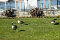 Dziki kanadyjczyk Gooses w Vancouver obraz royalty free