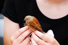 Dziki Kanarowy Ptak obrazy stock