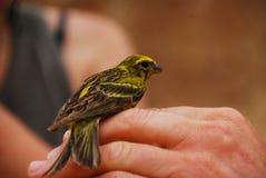 Dziki Kanarowy Ptak obraz stock