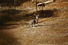 Dziki kangur, Wallaby odpoczywa w gorącym suchym słońcu/ zdjęcia royalty free