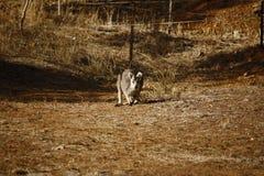 Dziki kangur, Wallaby odpoczywa w gorącym suchym słońcu/ fotografia royalty free