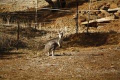 Dziki kangur, Wallaby odpoczywa w gorącym suchym słońcu/ fotografia stock