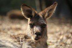 Dziki kangur, Wallaby odpoczywa w gorącym suchym słońcu/ obraz stock