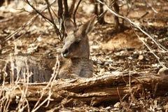 Dziki kangur, Wallaby odpoczywa w gorącym suchym słońcu/ obrazy stock
