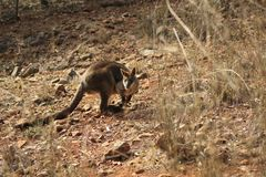 Dziki kangur, Wallaby odpoczywa w gorącym suchym słońcu/ obraz royalty free