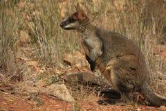Dziki kangur, Wallaby odpoczywa w gorącym suchym słońcu/ zdjęcia stock