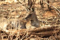 Dziki kangur, Wallaby odpoczywa w gorącym suchym słońcu/ obrazy royalty free