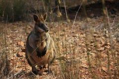 Dziki kangur, Wallaby odpoczywa w gorącym suchym słońcu/ zdjęcie royalty free