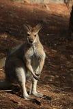Dziki kangur, Wallaby odpoczywa w gorącym suchym słońcu/ zdjęcie stock