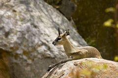 Dziki klipspringer, Kruger park narodowy, Południowa Afryka (Oreotragus oreotragus) Obrazy Royalty Free